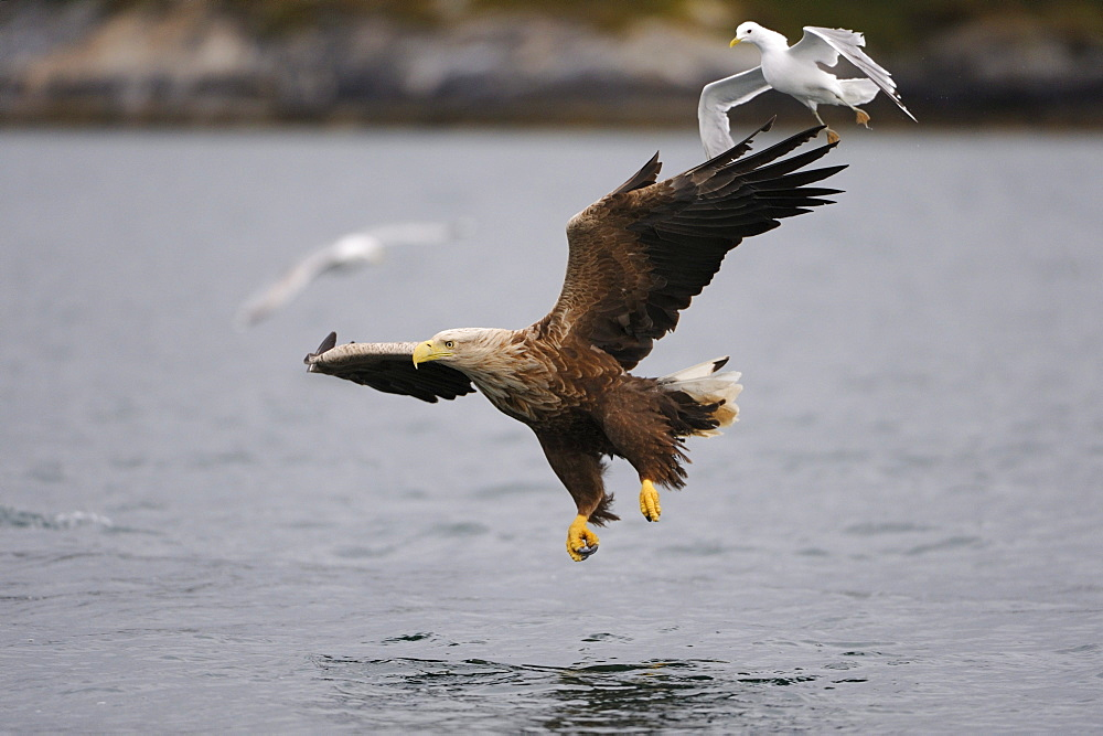 White-tailed Eagle or Sea eagle (Haliaeetus albicilla) and Common Gull or Mew Gull (Larus canus) hunting together, Flatanger, Nordtrondelag, Norway, Scandinavia, Europe