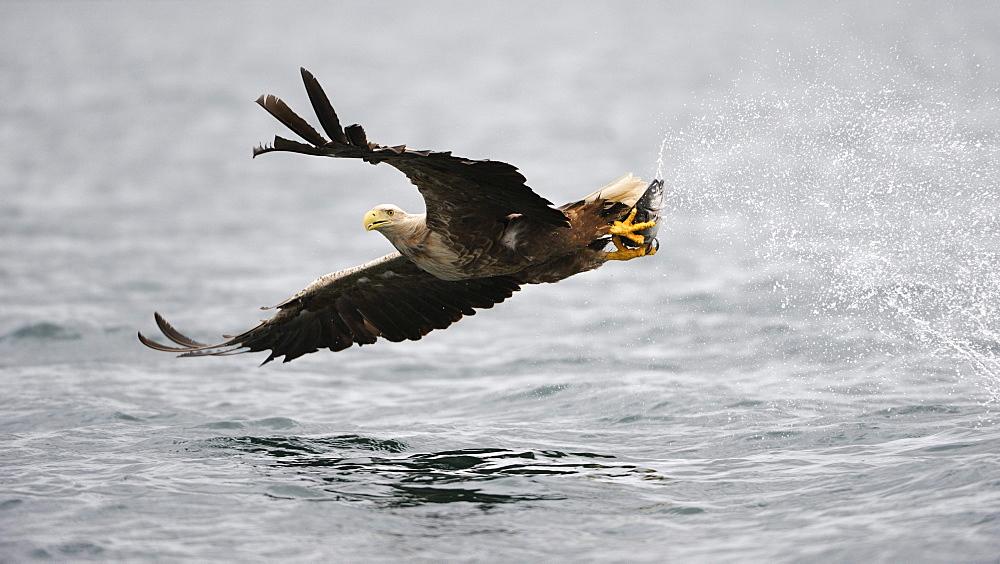 White-tailed Eagle or Sea eagle (Haliaeetus albicilla) in flight with prey, Flatanger, Nordtrondelag, Norway, Scandinavia, Europe