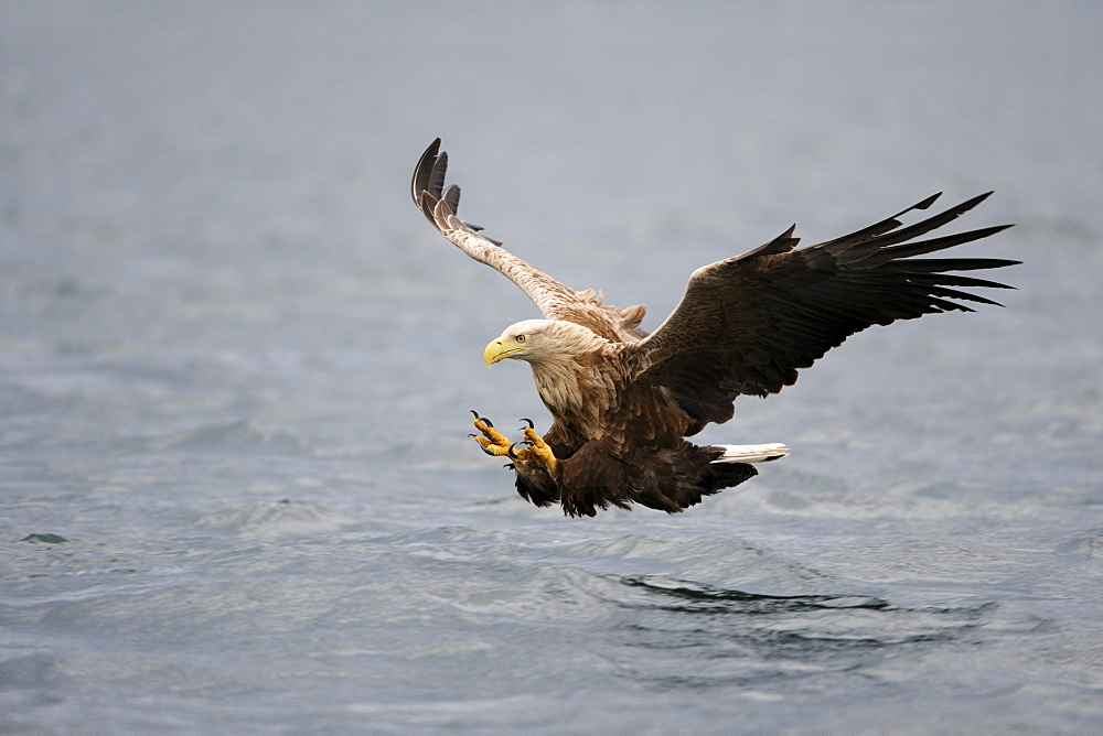 White-tailed Eagle or Sea eagle (Haliaeetus albicilla), hunting, Flatanger, Nordtrondelag, Norway, Scandinavia, Europe