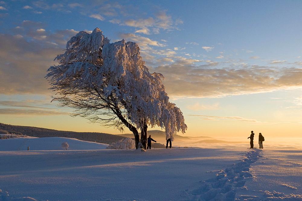 Snowy beeches Mt. Schauinsland near Freiburg im Breisgau, Baden-Wuerttemberg, Germany, Europe