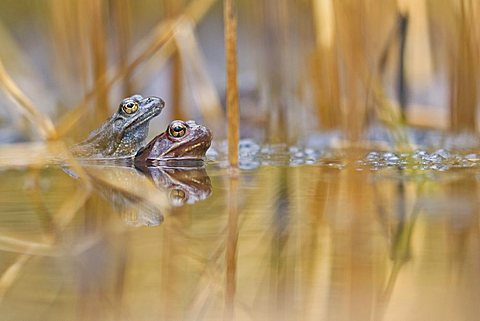 Moor Frogs (Rana arvalis) mating - 832-6982
