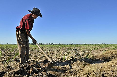 Old man cultivating sugar cane for the production of bio diesel, Montero, Santa Cruz, Bolivia, South America