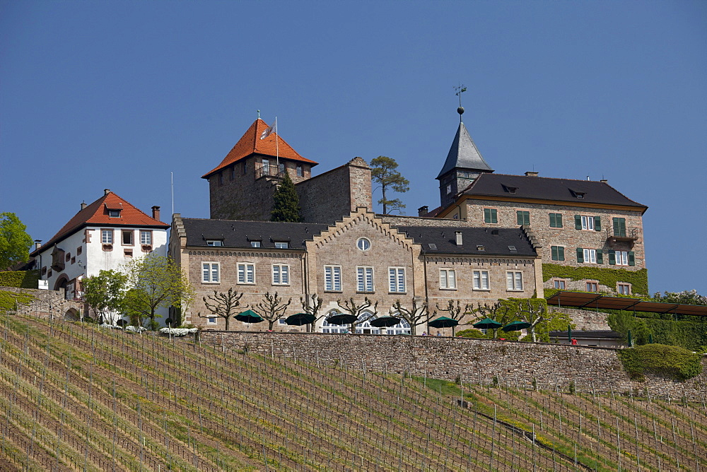 Vineyard of Eberstein Castle, Gernsbach climatic spa, Murgtal valley, Black Forest mountain range, Baden-Wuerttemberg, Germany, Europe