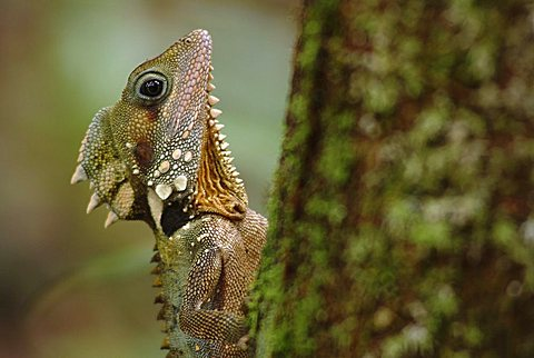 Boyd's Forest Dragon (Hypsilurus boydii), Mossman George, Daintree National Park, Queensland, Australia