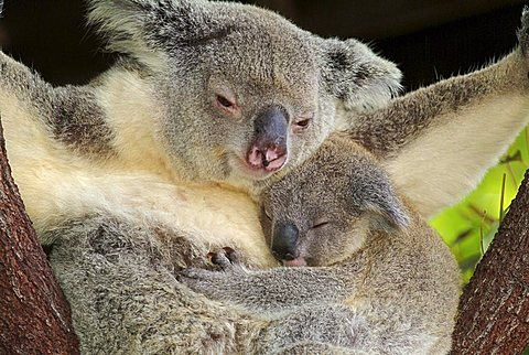 Koala (Phascolarctos cinereus) with pup, Australia