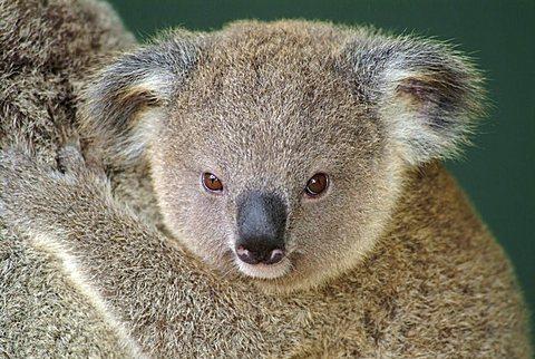 Koala pup (Phascolarctos cinereus), Australia
