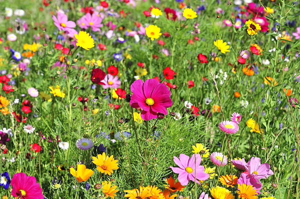 Flower meadow with Garden Cosmos or Mexican Asters (Cosmea bipinnata), Schwaebisch Gmuend, Baden-Wuerttemberg, Germany, Europe