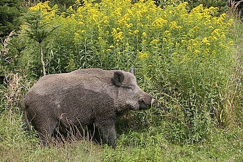 Adult tusker (Sus scrofa), in front of a goldenrod bush (Solidago canadensis)