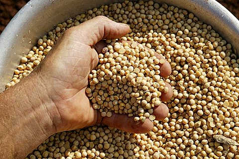 Soy beans of genetically modified seeds, Paraguay, South America