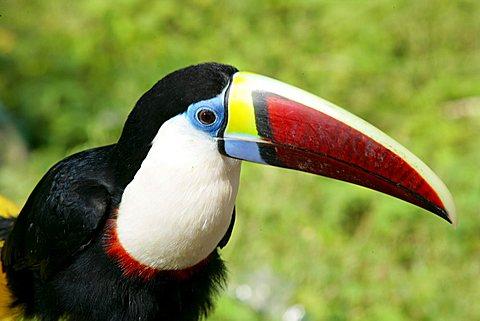 Swainson toucan (Ramphastos swainsonii), Santa Mission, Guyana, South America