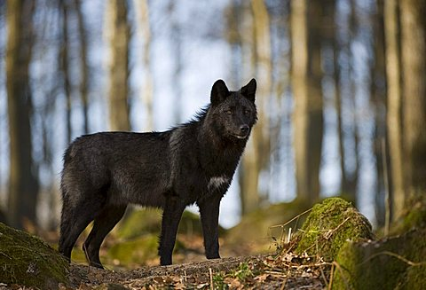 Eastern Wolf or Eastern Canadian Red Wolf (Canis lupus lycaon)