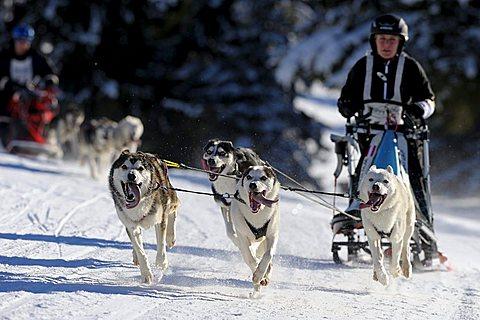 Dog-sled team, Unterjoch, Bavaria, Germany, Europe
