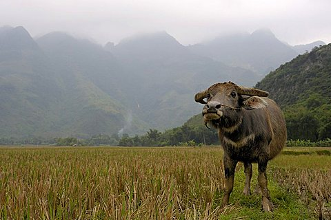 Water Buffalo in front karst mountains, dry Halong Bay, National Park TamCoc, Ninh Binh, North Vietnam, South East Asia