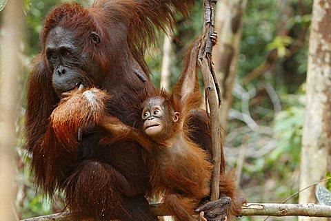 Bornean Orangutan (Pongo pygmaeus) with young at Tanjung Puting National Park, Central Kalimantan, Borneo, Indonesia, Asia