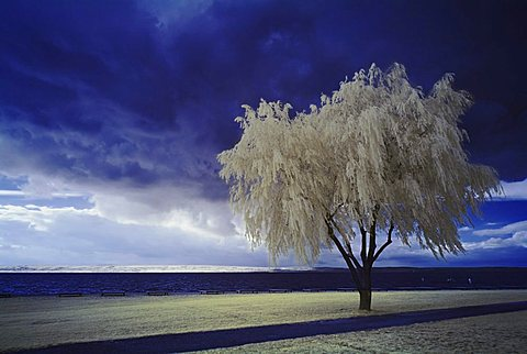 Tree at a lake in front of clouds, infra-red colour, Neusiedler lake, Burgenland, Austria