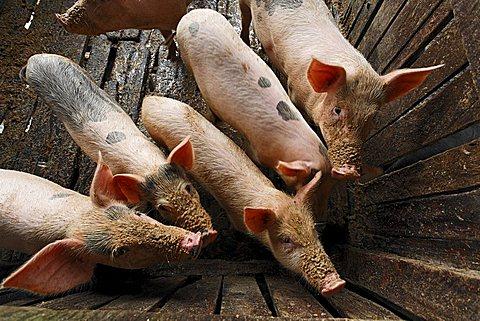 pig breeding, Samarinda, East-Kalimantan, Borneo, Indonesia