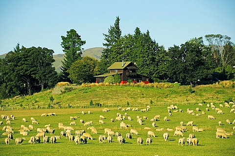 Flock of sheep in the Southern Alps, South Island, New Zealand