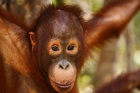 Orang-utan (Pongo pygmaeus) in Tanjung Puting national park, Central-Kalimantan, Borneo, Indonesia
