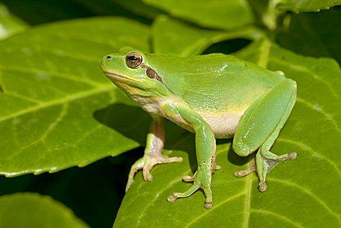 Mediterranean Tree Frog, Stripeless Tree Frog (Hyla meridionalis), Southern France, Europe