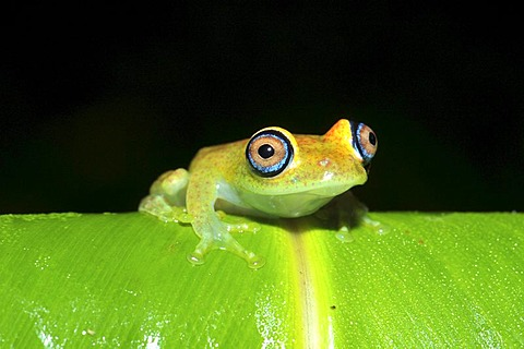Green bright-eyed frog (Boophis sp.) in the rain forests of Andasibe in eastern Madagascar, Africa, Indian Ocean