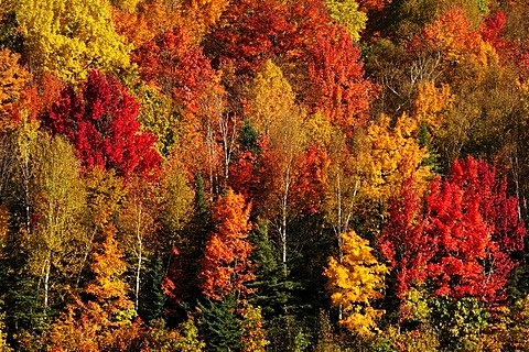 Trees in striking autumn colors, Ontario, Canada - 832-77863