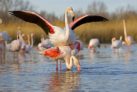 American Flamingo (Phoenicopterus ruber), couple during copulation, Camargue, France