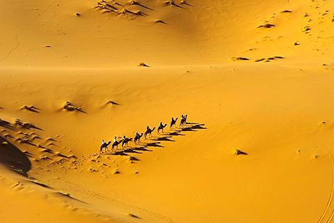 Tourists riding dromedaries in the Erg Chebbi sand dunes, Sahara, southern Morocco, Africa