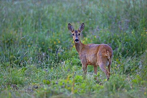 European Roe Deer (Capreolus capreolus), Sweden, Scandinavia, Europe