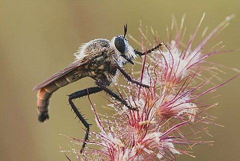 Robber Fly (Asilidae), adult, Rio Grande Valley, Texas, USA