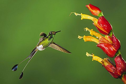 Booted Racket-tail (Ocreatus underwoodii), male in flight feeding from Ginger flower in rainforest, Mindo, Ecuador, Andes, South America