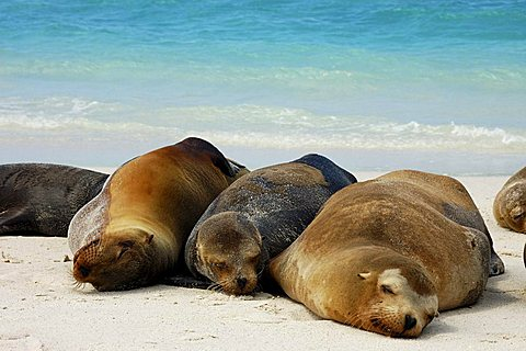 Galapagos Sea Lions (Zalophus wollebaeki), huddled together, Hood Island, Galapagos Islands, Ecuador, South America