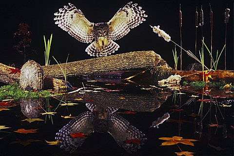 Barred Owl (Strix varia), adult landing on log in pond in fall with reflection, Raleigh, Wake County, North Carolina, USA