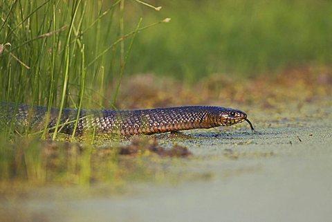 Texas Indigo Snake (Drymarchon corais erebennus), adult at ponds edge, Sinton, Corpus Christi, Texas, USA
