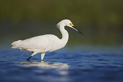 Snowy Egret (Egretta thula), adult walking in lake, Sinton, Corpus Christi, Texas, USA