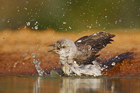 Northern Mockingbird (Mimus polyglottos), adult bathing, Rio Grande Valley, Texas, USA - 832-8096