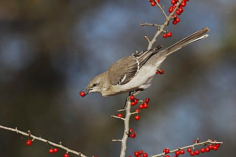 Northern Mockingbird (Mimus polyglottos), adult eating Possum Haw Holly (Ilex decidua) berries, Bandera, Hill Country, Texas, USA - 832-8098