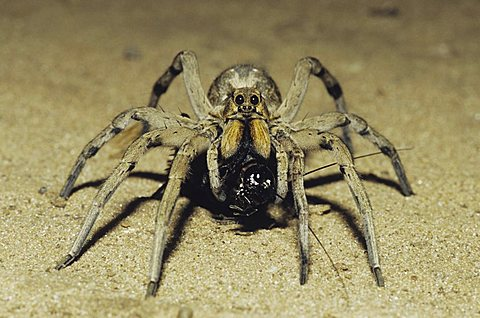 Wolf Spider (Lycosidae), adult with cricket prey in desert, Starr County, Rio Grande Valley, Texas, USA