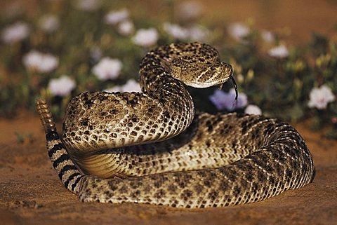 Western Diamondback Rattlesnake (Crotalus atrox), adult in defense pose among flowers in desert, Starr County, Rio Grande Valley, Texas, USA