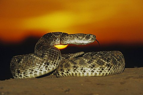 Western Diamondback Rattlesnake (Crotalus atrox), adult in defense pose at sunset in desert, Starr County, Rio Grande Valley, Texas, USA