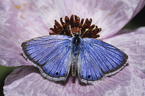 Reakirt's Blue (Hemiargus isola), male feeding from prickly poppy flower, Starr County, Rio Grande Valley, Texas, USA