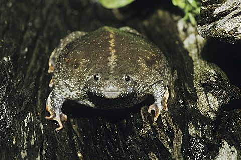 Mexican Burrowing Toad (Rhinophrynus dorsalis), adult bloated as defense, Starr County, Rio Grande Valley, Texas, USA