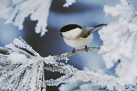 Willow Tit (Parus montanus), adult on frost covered Swiss Stone Pine (Pinus cembra) at minus 15 degrees Celsius, St. Moritz, Grisson, Alps, Switzerland, Europe - 832-8247
