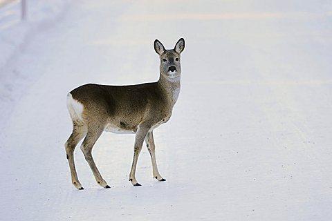 Roe Deer (Capreolus capreolus), adult in snow, St. Moritz, Grisson, Alps, Switzerland, Europe