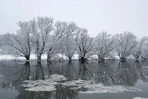 Eder River with icy Alder trees, Guxhagen, North Hesse, Germany, Europe
