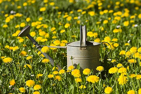 Tin watering can in a dandelion meadow