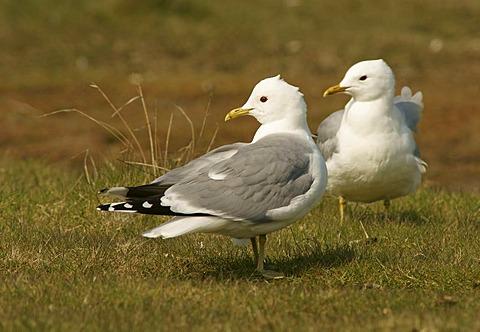 Common Gull or Mew Gull (Larus canus)