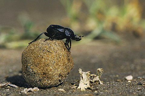 Dung Beetle (Scarabaeinae), adult on dung ball, Starr County, Rio Grande Valley, South Texas, USA
