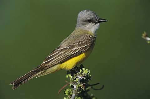 Couch's Kingbird (Tyrannus couchii), adult perched, Starr County, Rio Grande Valley, South Texas, USA