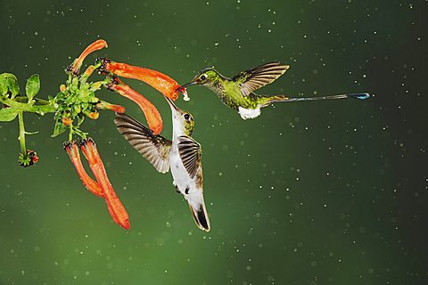 Booted Racket-tail (Ocreatus underwoodii) and Andean Emerald (Amazilia franciae), two males feeding on flower during rain in cloud forest rainforest, Mindo, Ecuador, Andes, South America - 832-8473