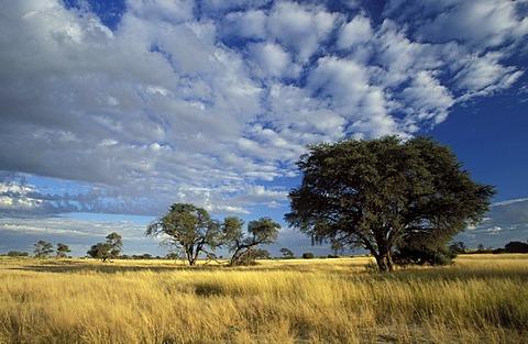 Kalahari scene, Kgalagadi Transfrontier Park, arid grassland savannah with camelthorn trees, South Africa, Africa